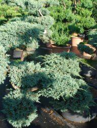 Bonsaiform ca. 90 x 100 (Juniperus squamata Blue Carpet)
