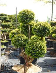 Pomponform ca. 110x80 (Taxus baccata Washingtonii)