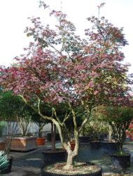 Schirmform ca. 280x300 (Acer japonicum Aconitifolium)