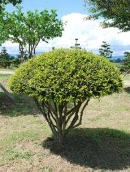 Schirmform ca. 110x120 (Taxus baccata Adpressa Aurea)