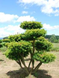 Bonsaiform ca. 110x90 (Taxus baccata Washingtonii)