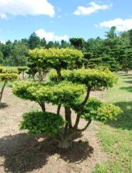 Bonsaiform ca. 110x110 (Taxus baccata Washingtonii)