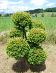 Pomponform ca. 110x90 (Taxus baccata Washingtonii)