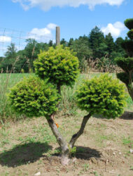 Pomponform ca. 90x80 (Taxus baccata Washingtonii)