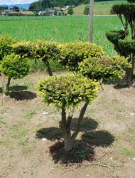 Bonsaiform ca. 95x90 (Taxus baccata Adpressa Aurea)