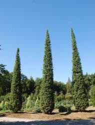 Toskana-Säulen 9 - 10 m