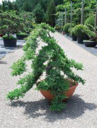 Mini-Bonsaiform (Juniperus communis Green Carpet)