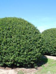 Kugeln ø ca. 2.75 m (Prunus lusitanica Angustifolia)