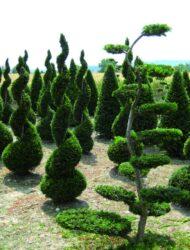 Spirale (im Vordergrund Taxus baccata Rustique Bonsaiform)