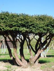 Schirmform ca. 160x300 (Picea abies Nidiformis)