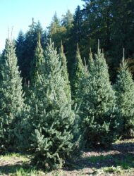 Picea likiangensis var. rubescens, hier 1.5 m