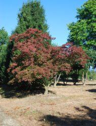 Acer japonicum Aconitifolium, hier 4 m