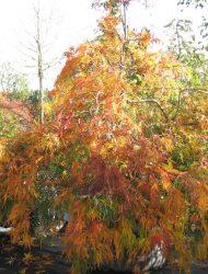 hier 2 m; Herbstfärbung