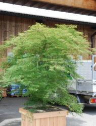 Acer palmatum Emerald Lace, hier 2.25 m