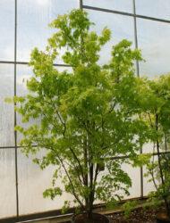 Acer palmatum Orange Dream, hier 1.75 m