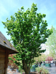 Acer palmatum Shishigashira, hier 3 m