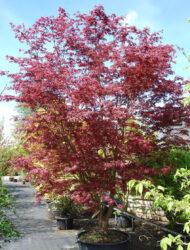 Acer palmatum Trompenburg, hier 4 m