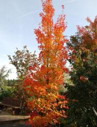hier 4.5 m; Herbstfärbung