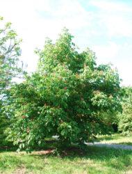 Aesculus pavia Atrosanguinea, hier 4.5 m