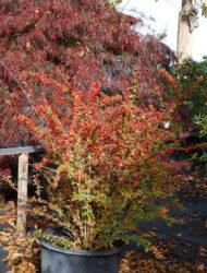 hier 0.8 m; Herbstfärbung