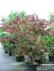 Cercis canadensis Forest Pansy, hier 2 m