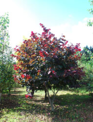 Cercis canadensis Forest Pansy, hier 2.5 m
