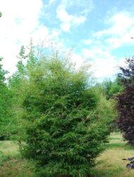 Fagus sylvatica Aspleniifolia, hier 2.25 m