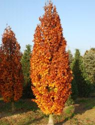 hier 3 m; Herbstfärbung