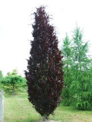 Fagus sylvatica Dawyck Purple, hier 5 m