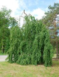 Fagus sylvatica Pendula, hier 7 m