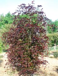 Fagus sylvatica Purpurea Latifolia, hier 2.25 m