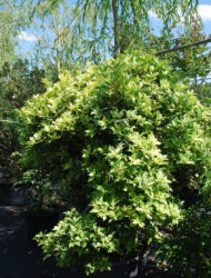 Osmanthus heterophyllus Goshiki, hier 1.25 m