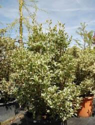 Osmanthus heterophyllus Variegata, hier 1 m