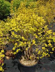 Physocarpus opulifolius Dart's Gold, hier 0.8 m