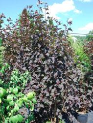 Physocarpus opulifolius Diabolo, hier 1.5 m