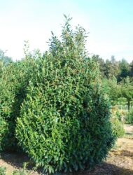 Prunus laurocerasus Caucasica, hier 3.5 m