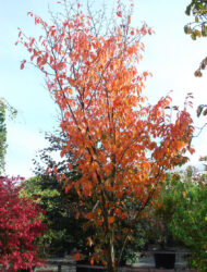 hier 4 m; Herbstfärbung