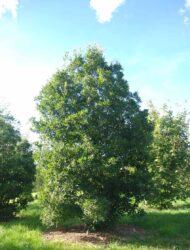 Quercus turneri Pseudoturneri, hier 4 m