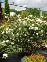 Viburnum plicatum Grandiflorum, hier 1.75 m