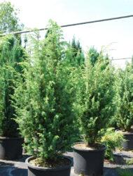 Juniperus communis Hibernica, hier 0.8 m