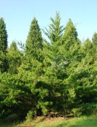 Juniperus virginiana Canaertii, hier 2.75 m