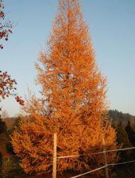 hier 9 m; Herbstfärbung