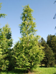 Metasequoia glyptostroboides, hier 7.5 m