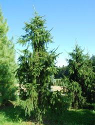 Picea abies Pendula Major, hier 4 m