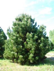 Pinus heldreichii Compact Gem, hier 3 m (auch: Pinus leucodermis Compact Gem)