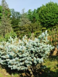 Picea pungens Glauca Globosa, hier 0.6 m