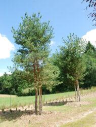 hier 7 - 8 m (Pinus sylvestris Norska)