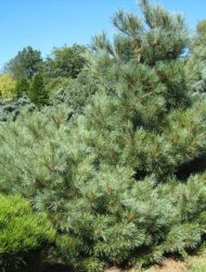 Pinus strobus Radiata, hier 2 m