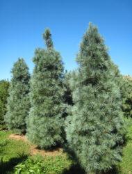 Pinus strobus Fastigiata, hier 3 m